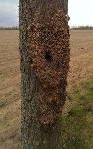 Befall eines Baumes mit Larven des Eichenprozessionsspinners